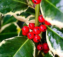 Holly Berries by KenByrne