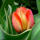 Young Red Tulip with Green Leaves ~ Close Up of Flower Bloom in a Spring Tulip Bed by Chantal PhotoPix