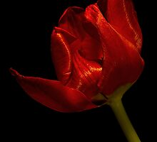 Red Satin Tulip by Ann Garrett