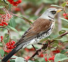 fieldfare by bigjoeman07