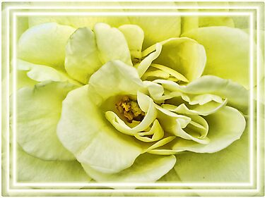 Dreamy Light Yellow Rose - Stamens & Petals Close-up ~ Framed Photography by Chantal PhotoPix