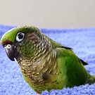 Do You Use A Good Fabric Softener? - Maroon-Bellied Conure - NZ by AndreaEL