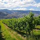 Okanagan Valley Vineyards by Tom  Reynen