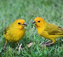 Saffron Finches by Ticker