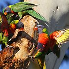 Down The Lorikeet Hole by byronbackyard