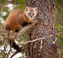 Pine Marten In Pine Tree by Michael Cummings