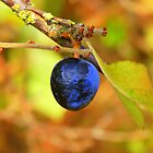 Sloe berry (Prunus spinosa) by Andy Turp
