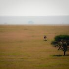 Soft Landscape with Large Acacia, Serengeti, Tanzania by BH Neely