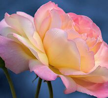 rose on blue by Teresa Pople