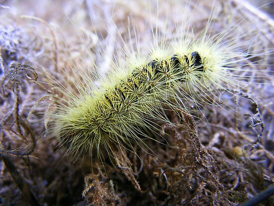 Yellow haired caterpillar. (No ID) by Esther's Art and Photography