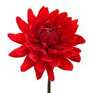 Red Dahlia Flower White Background Wall Art by Natalie Kinnear
