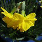 Nodding Daffodils by BlueMoonRose