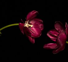 One Tulip to Another by Ann Garrett