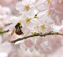 Bumble Bee on Cherry by Geoff Puryear