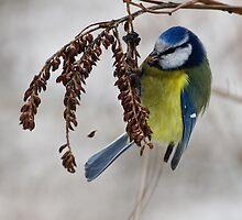 Blue tit - 2 (Parus caeruleus)  by Vasil Popov