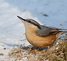 Nuthatch in the snow by Gill Langridge