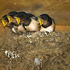 Four Swallow Chicks at Feeding Time by Crispel