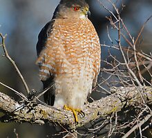 Sharp-shinned Hawk by photosbyjoe