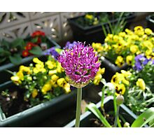 Beauty Unfolding - Allium and Pansies  Photographic Print