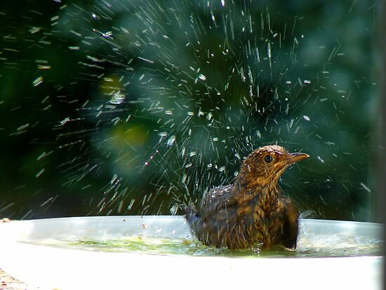 I Like To Stay In Tip-Top Condition - Blackbird Bathing - NZ by AndreaEL