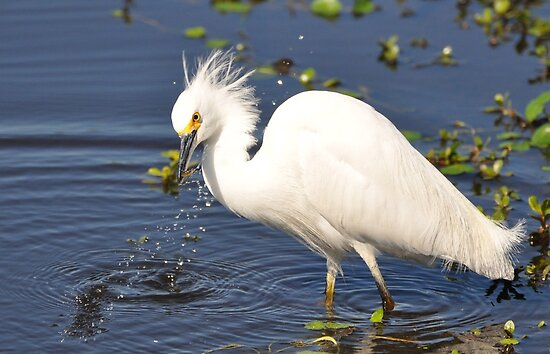 Snowy Egret with small fish just caught by venny