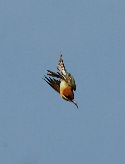 Chestnut-headed Bee-eater on the wing by David Clarke
