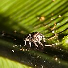 Jumping Spider by Mark Goodwin