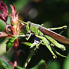 The Handsome Obscure Bird Grasshopper by Kathy Baccari