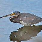 Tri-Colored Heron by Kathy Baccari