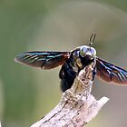 Male Xylocopa sp.Carpenter Bee  by cs-cookie