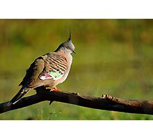 Crested Pigeon. Cedar Creek, Queensland, Australia. Photographic Print