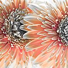 Orange Gerberas by Judi Mowlem