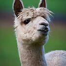 """""""Llama Portrait"""" by Heather Thorning"""