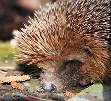 Hedgehog side by Michael Brewer