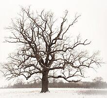 The old oak tree by DaleReynolds