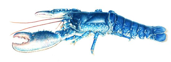 Common Lobster, Homarus gammarus watercolour by Sarah Trett