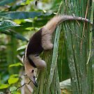 Northern Tarmadua (Anteater) - Tortuguero National Park, Costa Rica by Stephen Stephen