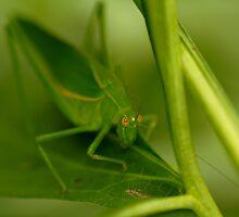 Common Garden Katydid - Caedicia simplex by Linda Claridge