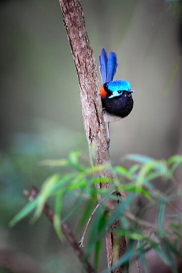 Red-winged fairy wren by nadine henley
