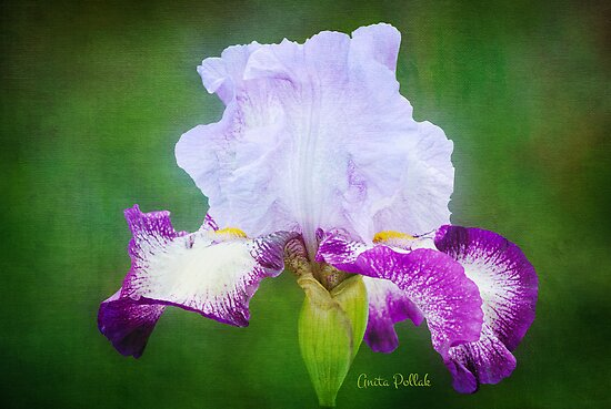 Painted Iris by Anita  Pollak