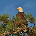 Bald Eagle In A Pine Tree by Kathy Baccari