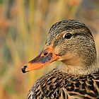 Autumn Mallard by Karol Livote