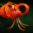 Tiger Lily by Clare Colins