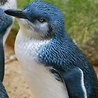 Fairy Penguin Blues by Penny Smith