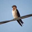Wire Tailed Swallow by neneaniket