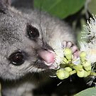 Common brushtail possum (Trichosurus vulpecula) eating Corymbia torelliana by Peregrinate