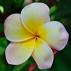 Sunset Frangipani by peasticks