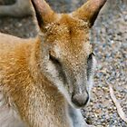 Wallaby Nap Time by peasticks