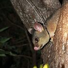 Wriggle the Common brushtail possum (Trichosurus vulpecula) by Peregrinate