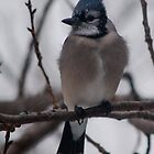 Blue Jay Calling by Barry Doherty